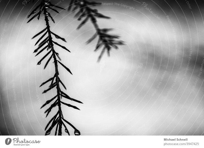Kleiner Ast eines Nadelbaums Nadelbaumzweig Nadelbaumzweige Nadelbaumblätter Schwarzweißfoto schwarzweiß stachelig pieksen