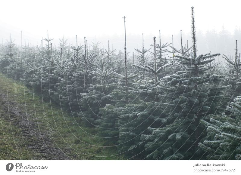 Christbaum Plantage im Nebel Tanne Baum Winter Schnee kalt Eis Frost Natur Außenaufnahme weiß Menschenleer Farbfoto Tag Wald Umwelt Pflanze Landschaft