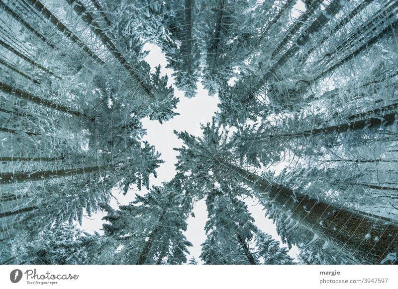 Blick in einen Winterhimmel mit hohen Baumkronen und Nadelbäumen Nadelbaum Nadelwald Natur Außenaufnahme Menschenleer Eis Schnee Froschperspektive Frost Umwelt