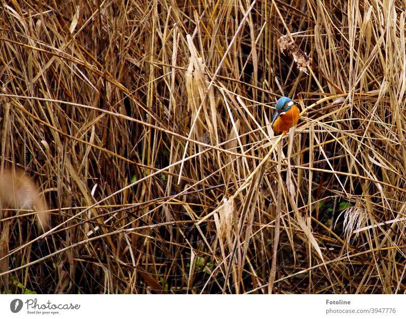 Sich auf der Jagd befindend sitzt der kleine Eisvogel auf einem Schilfhalm und beobachtet sein nächstes Beutestück. Eisvögel Vogel Tier Außenaufnahme Farbfoto
