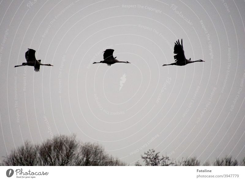 In den Süden? Nein danke! Diese Kraniche bleiben hier. Elegant fliegen sie über den Bäumen vor grauem Himmel. Kranichvögel Kranichflug Vogel Außenaufnahme