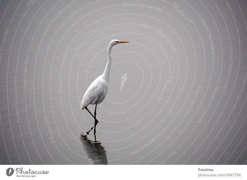 Heimlich, ganz leise und vorsichtig, stakst der Silberreiher durch das flache Wasser um Fische zu fangen. Reiher Vogel Tier Natur Farbfoto Außenaufnahme Umwelt