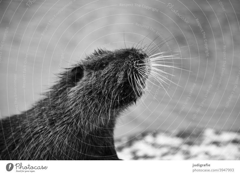 Nutria Biberratte Sumpfbiber Coypu Tier Nagetier Tierprtrait Fell Kopf Fühlhaare Vibrisse Wildtier Tiergesicht Natur Außenaufnahme niedlich Wasser