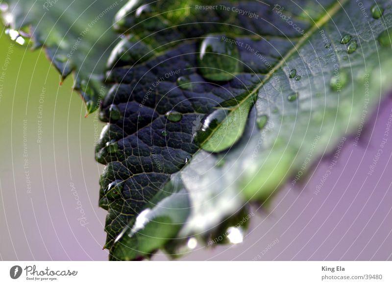 Tropfen am Blatt ruhig Blatt Wassertropfen frisch Tiefenschärfe Wasser