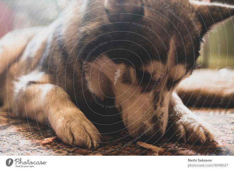 Schnüffeln nach leckerem Zeug Raubtier Junge Haustiere jünger Karnivora Haushund Haushunde Hunde Alaska jugendlich beobachten Porträt Familienhund Hund züchten