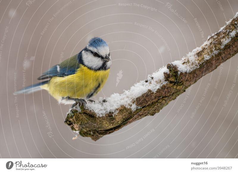 Blaumeise auf Ast Vogel Meise Tier niedlich Tierporträt Winterfütterung Farbfoto 1 Außenaufnahme Tag Natur Menschenleer Wildtier Umwelt natürlich Tiergesicht