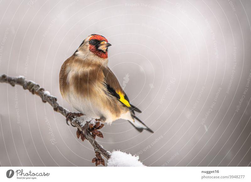 Stieglitz / Distelfink auf Zweig Tier Farbfoto 1 Außenaufnahme Tag Natur Menschenleer Wildtier Umwelt natürlich Vogel Tierporträt Tiergesicht