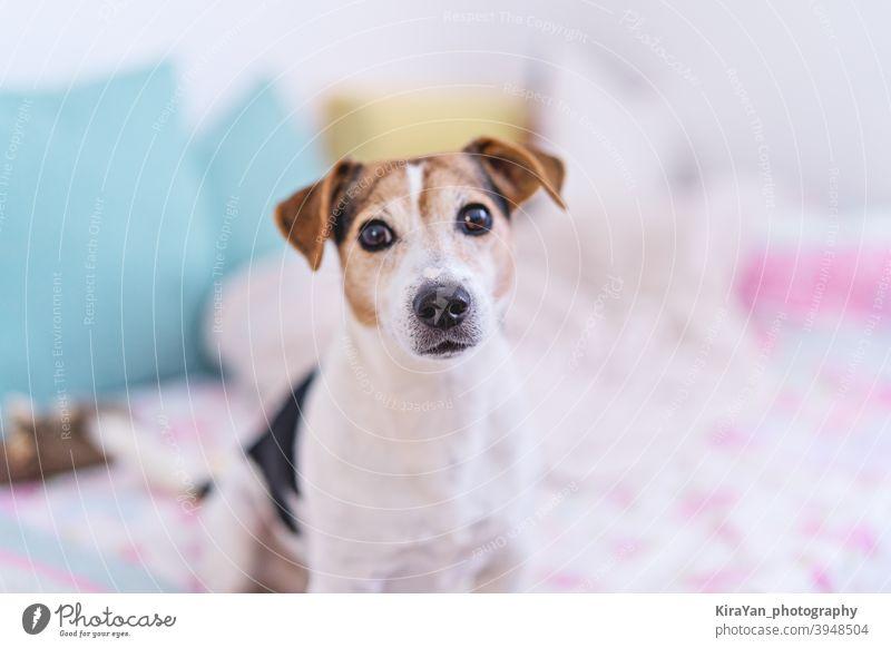 Hund schaut auf Kamera, Porträt von Jack Russell Terrier in Pastell Schlafzimmer Interieur, Weichzeichner Jack-Russell-Terrir Auge Nase niedlich Haustier