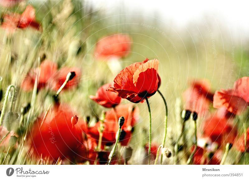mohn Sommer Pflanze Blume Blüte Mohn Mohnblüte Mohnfeld Mohnkapsel Mohnblatt Wiese Feld Wärme rot Farbfoto Außenaufnahme Textfreiraum rechts Morgen Tag Licht