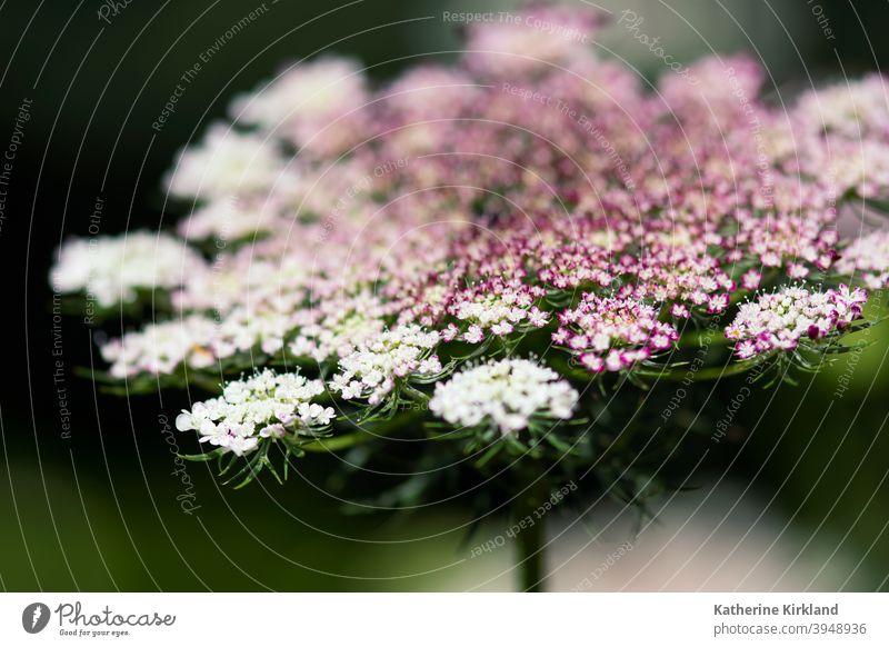 Rosa Queen Ann's Lace Makro Königin-Anns-Spitze Möhre wild grün rosa purpur weiß Wiese Feld Nahaufnahme Natur natürlich Wildblume geblümt Blume heimatlich