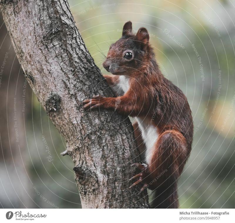Eichhörnchen hängt am Baumstamm Sciurus vulgaris Tierporträt Tiergesicht Kopf Augen Ohr Nase Maul Pfoten Wildtier Schönes Wetter Sonnenschein Sonnenlicht Natur