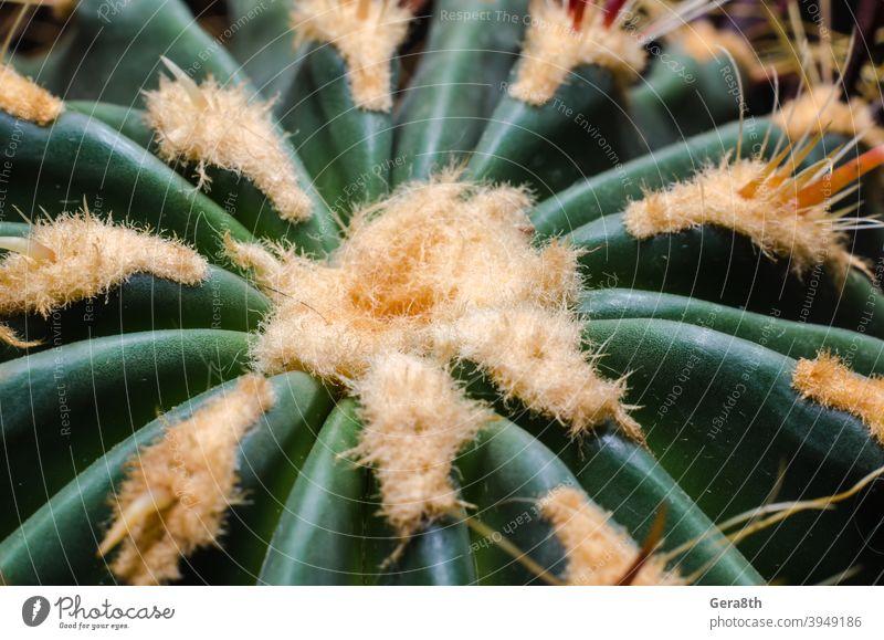 Kaktus Nahaufnahme Makro detailliert grün grüner Kaktus orange Pflanze