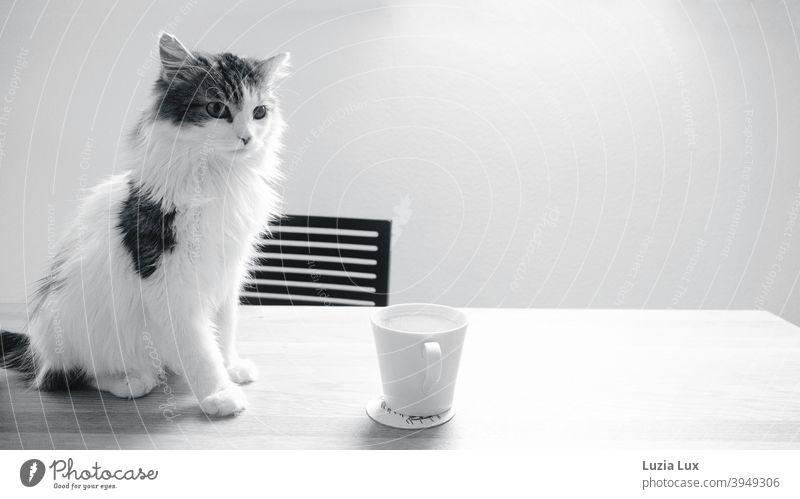 Kater, Langhaarmix sitzt auf einem Holztisch vor einer leeren Kaffeetasse Katze Langhaarige Katze langhaarig Schwarzweißfoto schwarzweiß Blick