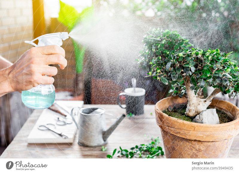 Mann bewässert Bonsai-Blätter. Pflege Garten alt Hobby Pflanze asiatisch Gartenarbeit Senior 40s Wasser grün Wachstum organisch Natur kultivieren Gärtner
