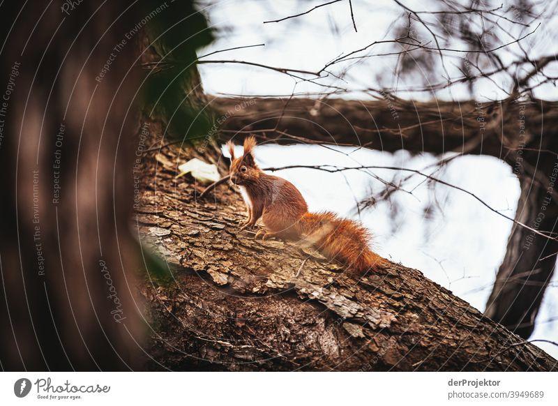 Eichhörnchen am Schlachtensee im Winter Naturerlebnis Ferien & Urlaub & Reisen Lebensfreude Landschaft Tourismus Licht Kontrast Schatten Sonnenstrahlen