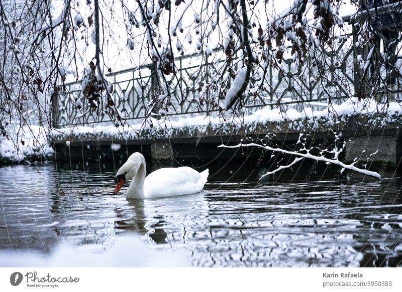 Schwan im Winter Tier Vogel Wasser weiß Natur See Farbfoto Außenaufnahme Wildtier Menschenleer Umwelt Tag Reflexion & Spiegelung Seeufer natürlich schön kalt