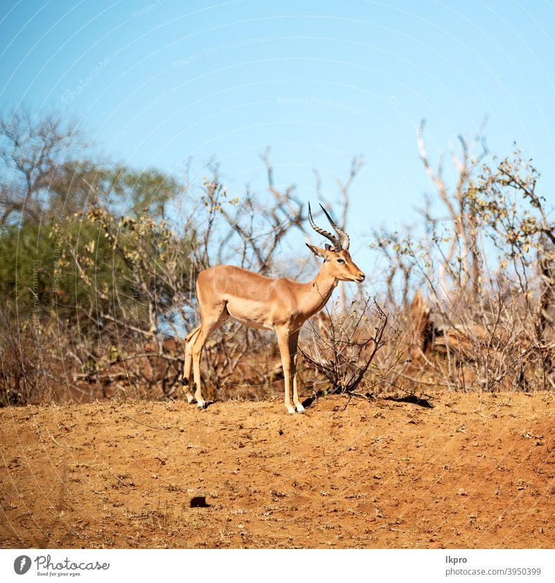 Wilde Impala im Winterbusch Afrika Antilopen Tierwelt Park national Natur Süden Safari wild Kruger Säugetier männlich Aepyzeros Melampus Gazellen Gras Wildnis