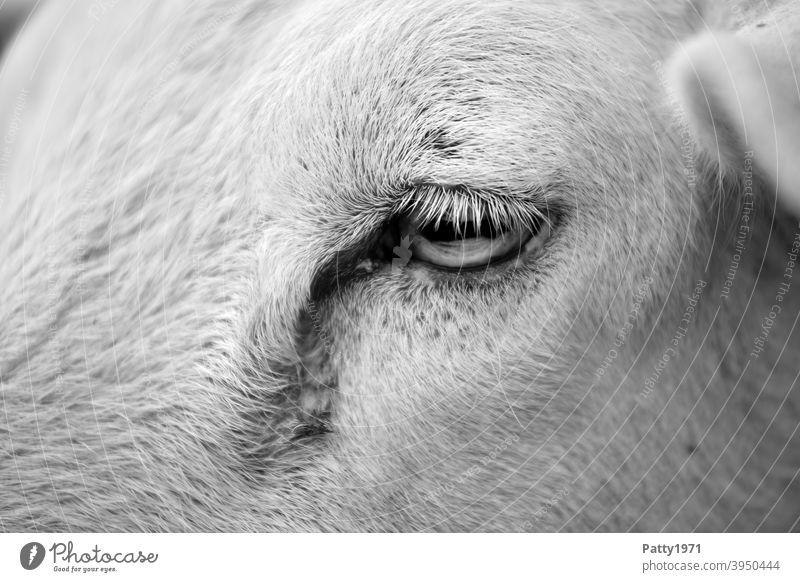 Schafsauge Detailaufnahme Auge Tier Tierporträt 1 Nutztier Tiergesicht Blick
