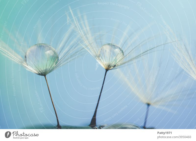 Wassertropfen sammeln sich auf Löwenzahnsamen Makro rund Pflanze Makroaufnahme Natur Detailaufnahme Samen Pusteblume leicht fragil blau