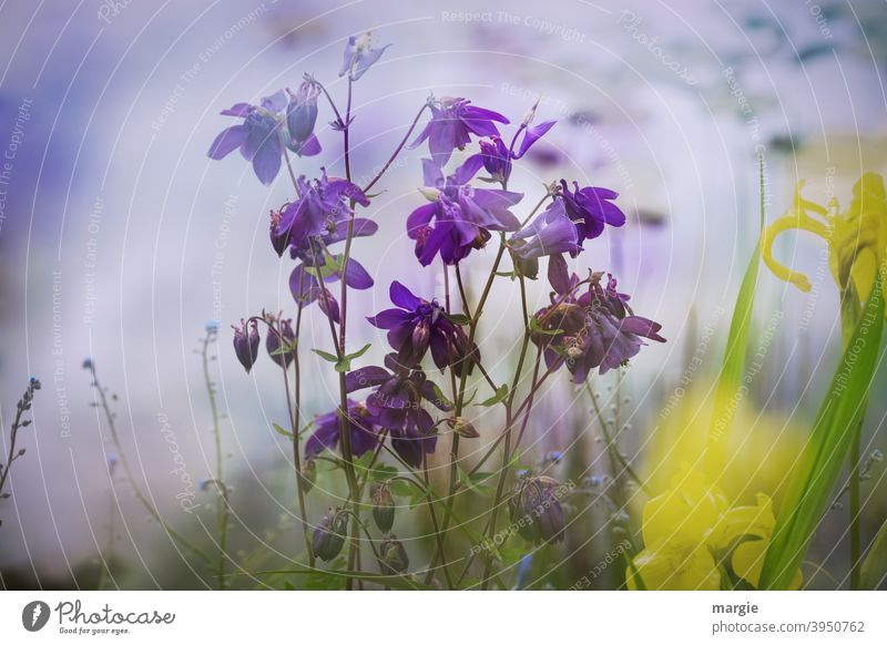 Blumen an einem Teich, Akelei und gelbe Lilien Teichufer Sommer Blüte Blütenblatt schön unscharfe tiefe Frühling natürlich Blühend lila Vergißmeinnichtblüte