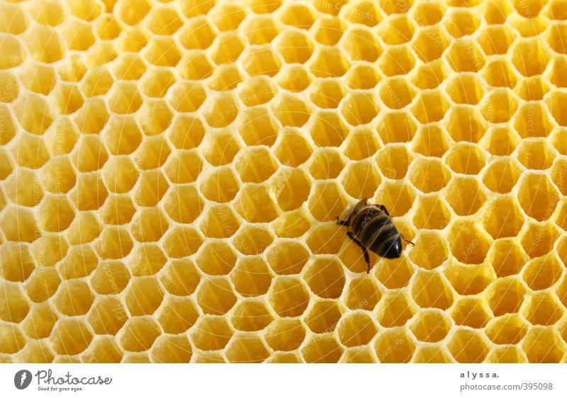 Steck doch den Kopf nicht in den Honig... Sommer Biene 1 Tier Bienenwaben gelb gold Farbfoto Nahaufnahme Detailaufnahme Tag