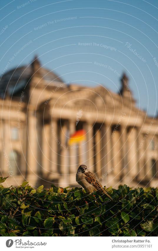 Ein Vogel vor dem Deutschen Bundestag sitzt auf einem Busch im Sommer unter blauem Himmel in Berlin. Stadtzentrum Tourismus Hauptstadt Menschenleer Großstadt