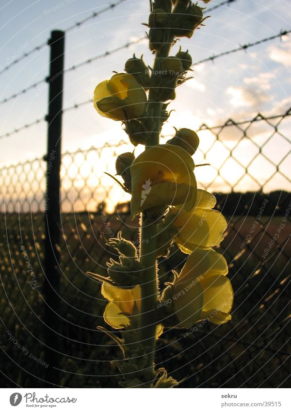 geblendet Sonne Blume Pflanze Zaun blenden