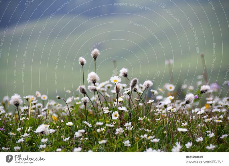 Alpenblumenwiese Natur Pflanze Erde Sommer Blume Gras Blüte Hügel grün weiß Margerite bedeckt Blumenteppich Tupfer Farbfoto Außenaufnahme Nahaufnahme