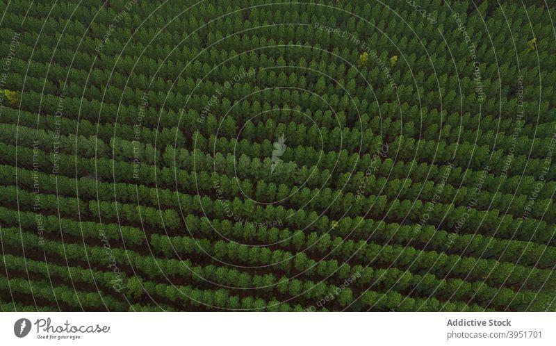 Draufsicht auf Tannenwald ausgerichtet Wald Baum nadelhaltig Natur Laubwerk ländlich Fichte malerisch Wälder Weg Person Spaziergang Australien üppig (Wuchs)