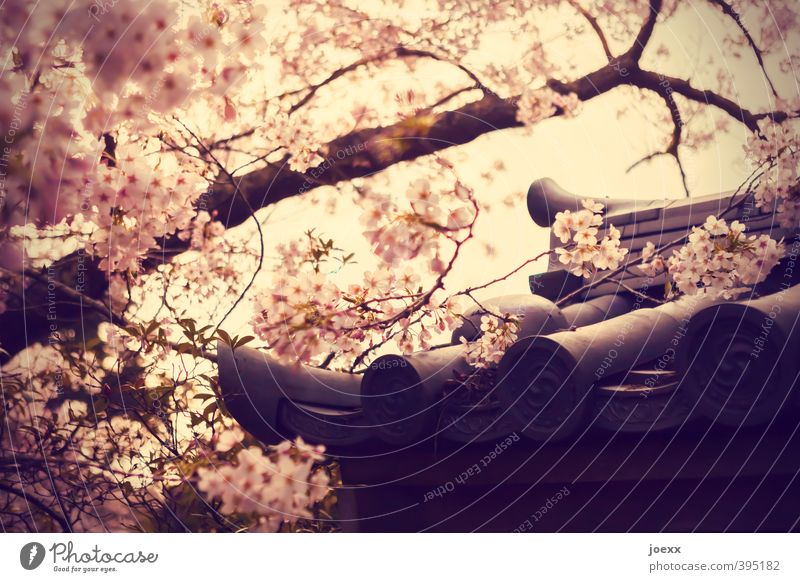 Glückskeks schön Baum Blüte hell Garten rosa Park Schönes Wetter Dach Kirschblüten Dachziegel Japanisch