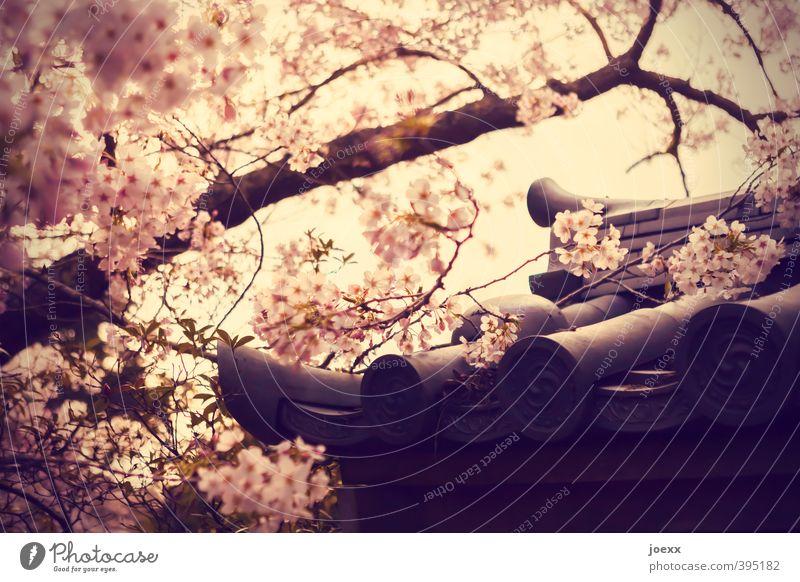 Glückskeks Schönes Wetter Baum Blüte Garten Park Dach hell schön rosa Kirschblüten Dachziegel Japanisch Farbfoto Gedeckte Farben Außenaufnahme Menschenleer Tag