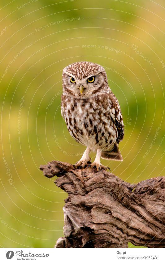 Niedliche kleine Eule Vogel Feder Tier Waldohreule Auge Natur Tierwelt Hintergrund Raubtier Jäger Blick Beitrag Beute lustig weiß niedlich wild braun starren