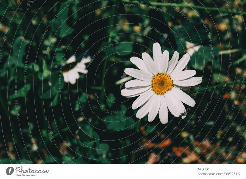 eine einzelne Leukanthemenblüte mit weißen Blütenblättern und einer gelben Mitte leucanthemum horizontal Ausschnitt Medizin Schlag blumig ornamental
