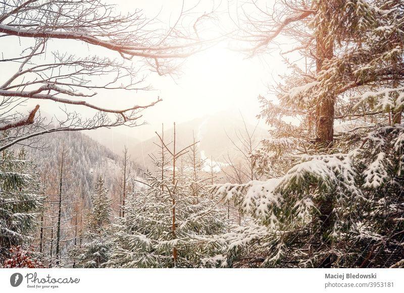 Schneebedeckte Bäume im Tatra-Gebirge, Tatra-Nationalpark, Polen. Berge Winter Wald Landschaft schön Sonne Baum Natur Saison Schneefall Wetter keine Menschen