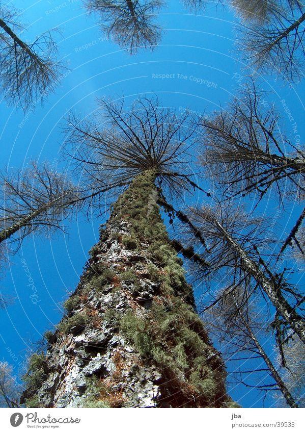 vom Strumpf zum Wipfel Himmel Baum blau oben Berge u. Gebirge unten Baumkrone