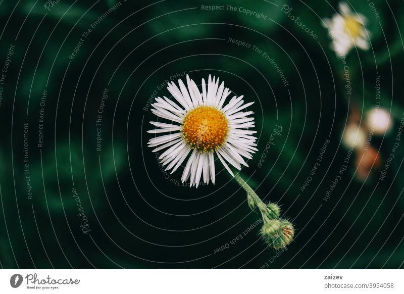eine einzelne Blüte mit weißen erigeronfarbenen Blütenblättern Erigeron Gänseblümchen horizontal Ruhe copyspace gerber Bild Wachstum vereinzelt Unkraut jährlich