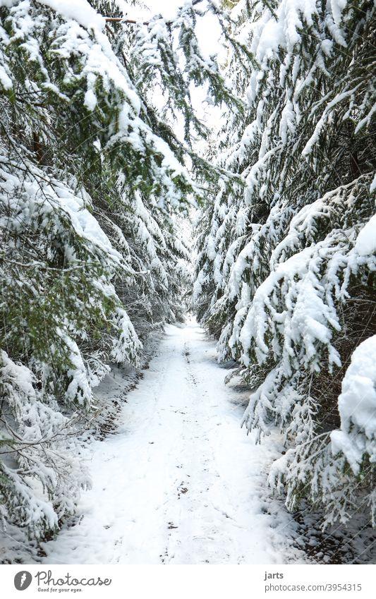 Waldweg im Winter Weg Schnee Tannen kalt weiß Natur Außenaufnahme Baum Menschenleer Farbfoto Tag Umwelt Frost Landschaft Wetter Klima Winterwald Wintertag