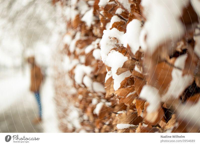 Hainbuche im Schnee Buche Hecke Unschärfe Unschärfe im Hintergrund unschärfe im vordergrund Natur Außenaufnahme kalt Tag Nahaufnahme Pflanze Winterstimmung