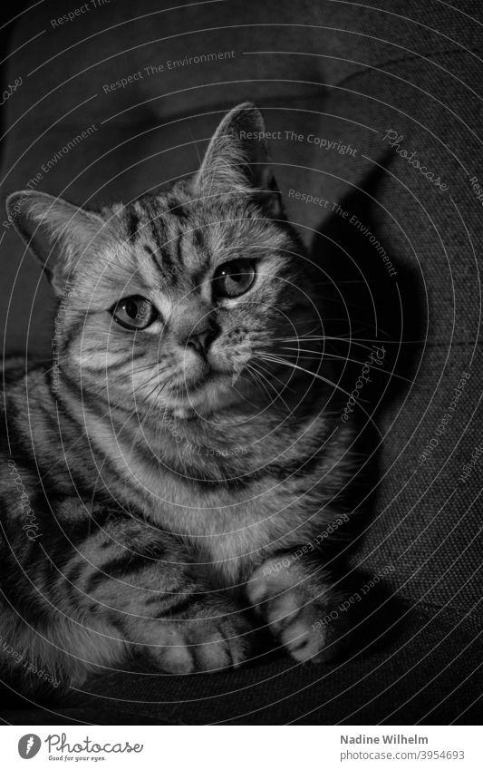 Britisch Kurzhaar in schwarz-weiß Katze Rassekatze Fell Haustiere Tabby Ein Tier niedlich katzenhaft fluffig Blick bezaubernd Schwarzweißfoto