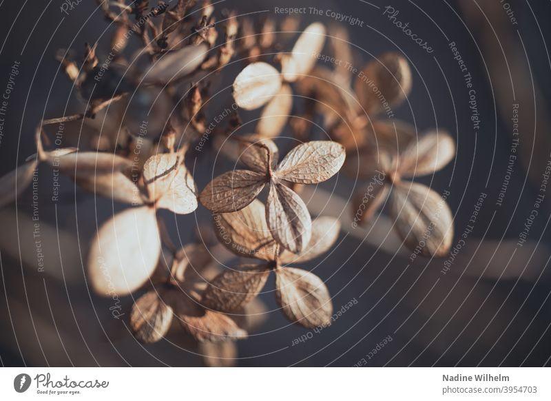Vertrocknet Blume vertrocknet Pflanze Natur Blüte verblüht Menschenleer Farbfoto welk trocken Vergänglichkeit Nahaufnahme Herbst Schwache Tiefenschärfe