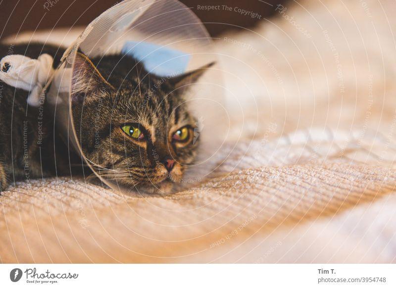 Kranker Kater mit Halskrause Katze Krankheit Tier Haustier Hauskatze Tierporträt Fell Blick niedlich Tiergesicht Schnurrhaar Katzenkopf Katzenauge Farbfoto