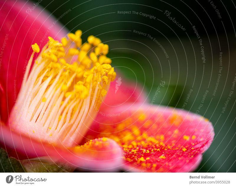 Rote Kamelienblüte camelia Staubfäden Blütenstaub; Pollen Gelbstich rosa grün Blumenstrauß Blühend Pflanzen botanik