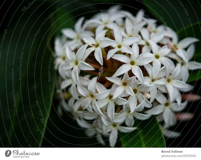 Weisse Jasmin Blüte weiß Blume Pflanze
