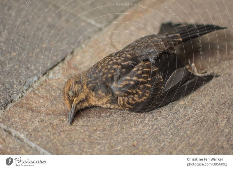 tote Amsel / Amselweibchen liegt auf Natursteinplatten Totes Tier Turdus merula Schwarzdrossel Wildtier Vogel Singvogel Tierporträt Nahaufnahme