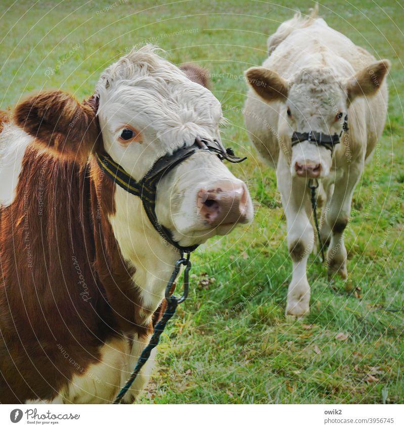 Dicke Kumpels Jungbullen Ochsen Rinder zwei Tierpaar Tierporträt schauen blicken träge interessiert müde beobachten Tiergesicht Blick Neugier Außenaufnahme