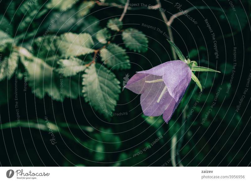 eine einzelne lilafarbene Campanula-Blüte auf dunklem Hintergrund Glockenblume horizontal Farbe Ausschnitt beleuchtet Kurve Weiblichkeit intensiv isolieren