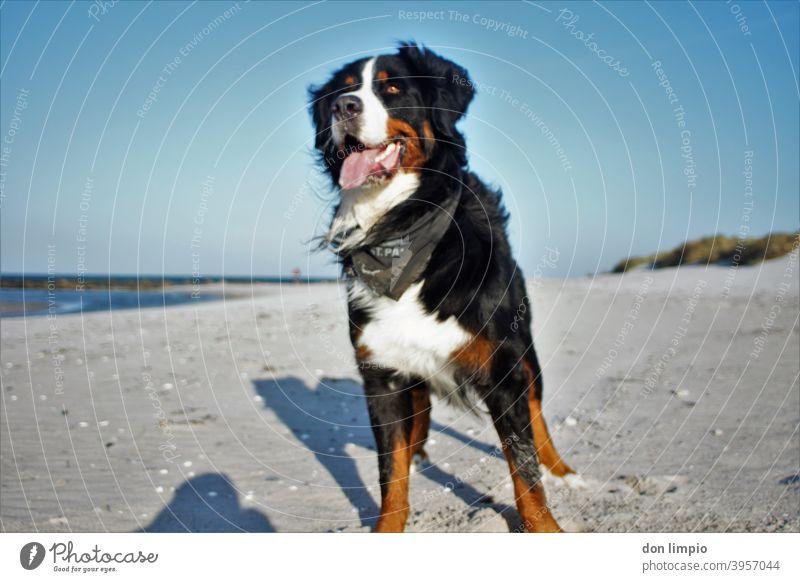 Bernard Sennenhund am Strand Ostsee Sand beach beobachten Natur Tag Fell Blick Froschperspektive Blick nach vorn Hund 1 Tier Schwache Tiefenschärfe Menschenleer