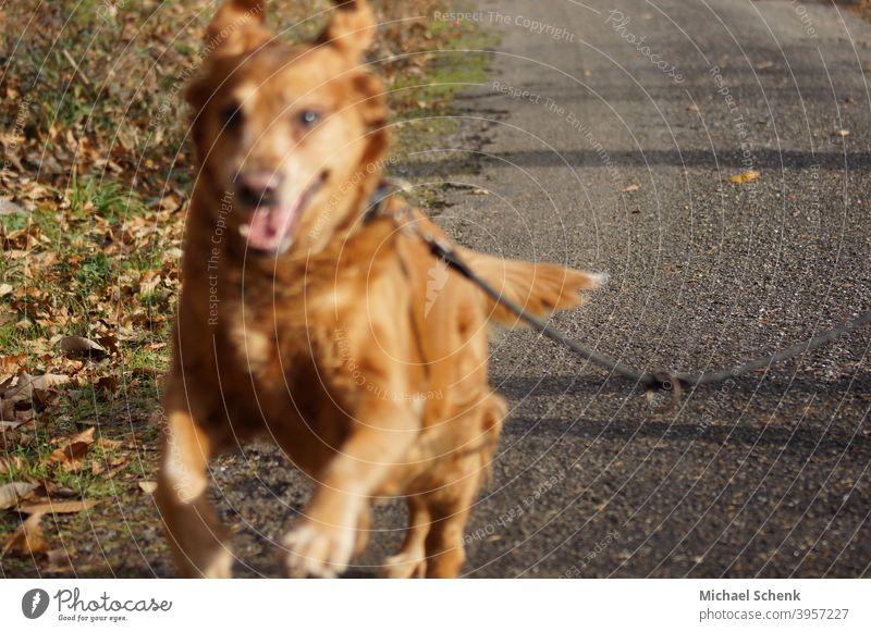 Ein Golden Retriever im Sprint Hund Tier Farbfoto Tierporträt Tiergesicht Erholung Auge Porträt Lifestyle