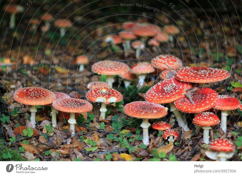 Glückspilze - sehr viele Fliegenpilze dicht beieinander auf dem Waldboden Pilz Natur Außenaufnahme Farbfoto Herbst Menschenleer Umwelt Schwache Tiefenschärfe