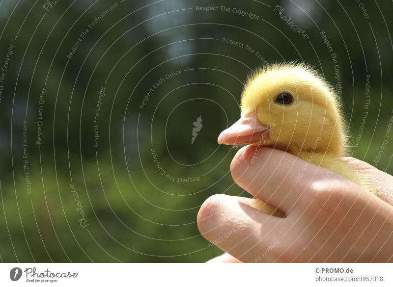 Gänsekücken gänse Hand Federvieh Geflügel klein Gans Tierporträt Vogel Natur Hausgans Tierwelt Tierhaltung grün gelb niedlich Schnabel Nahaufnahme